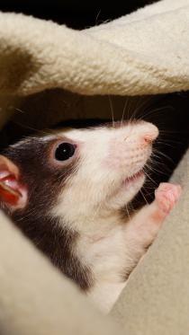 rat11