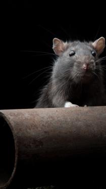 rat12