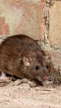 rat34