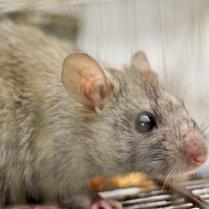 rat43